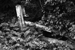 Overgrown Fence (pmvarsa) Tags: summer 2018 june analog bw blackandwhite film 135 ilford ilfordfp4plus fp4 fp4plus 125iso nikonsupercoolscan9000ed nikon coolscan manfrotto sekonic cans2s pentax spotmatic pentaxspotmatic classic camera takumar 300mm telephoto knowledge teaching education passonknowledge knowledgetransfer outdoor neighbourhood trees leaves fence derelect decay wood waterloo ontario canada