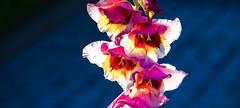 18-07-15 nah blü rot weiss gegenl gadiol bok sonauf dsc09964-1 (u ki11 ulrich kracke) Tags: blüterot gegenlicht gladiole kontrast mitte nah sh1 sonnenaufgang vertikale weiss