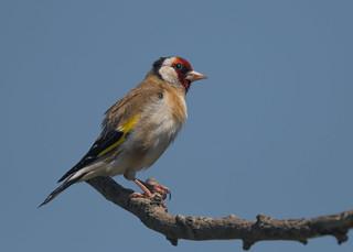 Goldfinch ( Carduelis carduelis Male