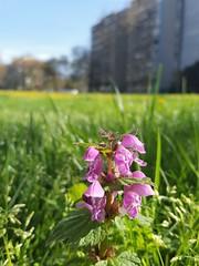 Lamium garganicum (Iggy Y) Tags: lamiumgarganicum lamium garganicum spring blossom flower purple color flowers green leaves nature meadow plant herb sunny day light sky blue