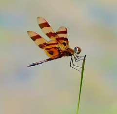 Halloween Pennant Male (Eat With Your Eyez) Tags: halloween pennant dragonfly insect bug water animal nature pond lake plant perch summer panasonic fz100 bokeh
