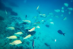 Heron Island Snorkel Underwater-8 (Quick Shot Photos) Tags: aquatechimagingsolutions canon canoncollective heronisland padi queensland scuba underwater snorkel bogie australia au