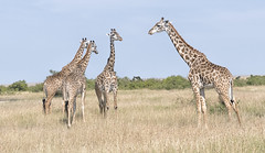 Giraffe (sspike@rogers.com) Tags: giraffe africa masaimara steverossi wildlife nature safari