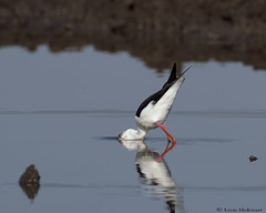Black-winged Stilt (leendert3) Tags: leonmolenaar southafrica krugernationalpark wildlife nature birds blackwingedstilt ngc coth5
