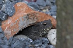 Pad - Toad  (Bufonidae) (Nederland in foto's) Tags: nederland nederlandinfotos netherlands nikon pdvandevelde padagudaloma paulvandevelde natuurfotografie nature naturephotographer pad toad animal amfibie amphibian bufonidae reptiel reptile