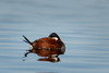 Ruddy Duck-47841.jpg (Mully410 * Images) Tags: avian duck birding birder birdwatching coonrapidsdam ruddyduck nationalpark sleeping napping fowl waterfowl birds mississippinationalriverrecreationarea bird
