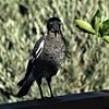 baby magpie ------ DSC_8028 (2) (harry de haan, the cameraman) Tags: harrydehaan realityphotographer realityphotography documentaryphotography unmediatedchanceencounter candidphotography streetphotography straatfotografie verhalendefotografie fotosdieietstevertellenhebben storytelling asiseeit eyewitness australia queensland qld bird animal