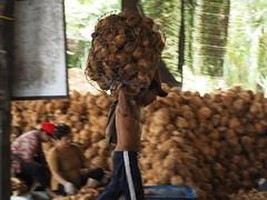 Coconut Farm! (hooge69) Tags: travel vietnam vietnammekongdelta coconutfarm man hot strong farm coconut people hardlife working