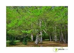 Despertar de la primavera (anton195835) Tags: primavera hayas ramas odesa huesca aragón