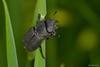 Dorcus parallelipipedus (Linnaeus, 1758). Hembra (Jesús Tizón Taracido) Tags: insecta coleoptera polyphaga scarabaeiformia scarabaeoidea lucanidae dorcusparallelipipedus