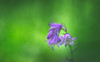 Bluebells (Dhina A) Tags: sony a7rii ilce7rm2 a7r2 samyang 135mm f20 f2 samyang135mmf20 bokeh bokehlicious smooth soft creamy bluebells spring flower