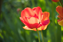 Tulpen (I-Like-My-Fotos-RAW) Tags: rot red tulips tulpe tulpen nature natur bokeh digital canon eos200d light licht grün green plant plants pflanze pflanzen blume makro hell april 2018