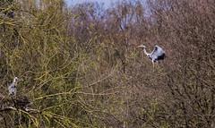 Grey Heron coming in to land (PDKImages) Tags: yorkshiresculpturepark birds wildlife bird heron nesting flight grey greyheron wings nature outside