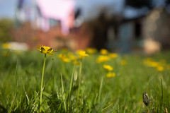 Shoot from your Boots (Pittypomm) Tags: lesser celandine pollen beetle fall yellow green lawn grass wendy house washing week16 shoot from your boots 2018p52 shootfromyourboots