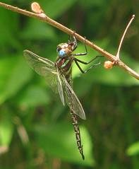 Swamp darner (Epiaeschna heros) (Vicki's Nature) Tags: swampdarner big dragonfly blueeyes green spots hanging twig biello georgia vickisnature canon s5 2756 eating