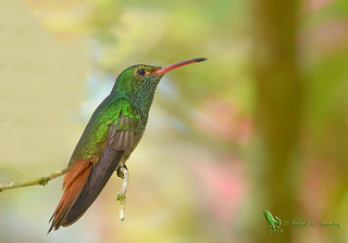 Rufous-tailed hummingbird - Ariane à ventre gris - Colibri de cola rufa - Amazilia tzacatl