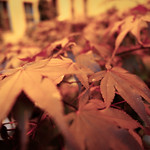 Red foliage thumbnail
