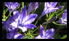 Triteleia Queen Brodea (M E For Bees (Was Margaret Edge The Bee Girl)) Tags: triteleiaqueenbrodea blue flower flowerscolors summer sun countyside canon growing petals plants