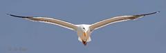 Gull, Western 1 (CA) (edit) (MO FunGuy) Tags: california bird gull