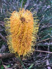 Banksia with hooked styles ([S u m m i t] s c a p e) Tags: springbrooknationalpark hiking trailrunning springbrook queensland australia