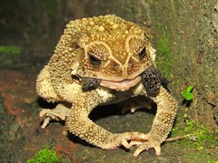 Skin shedding of Common Toad (Duttaphrynus melanostictus) (Kingshuk Mondal) Tags: frog toad duttaphrynusmelanostictus amphibiansofindia kingshukmondal commontoad