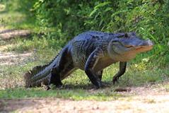 American alligator (Alligator mississippiensis) (im2fast4u2c) Tags: american alligator mississippiensis gator or common crocodilian reptile sheldonlakestatepark animal wilidlife