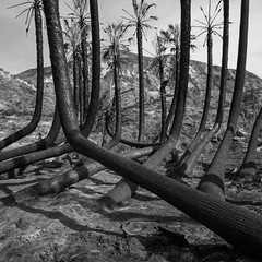 burnt palms. faria beach, ca. 2017. (eyetwist) Tags: eyetwistkevinballuff eyetwist film analog bw palmtrees burned burnt thomasfire fariabeach ventura california mamiya 6mf ishootfilm mamiya6mf mamiya75mmf35l 75mm ilfordfp4 ilford fp4 dr5com reversal transparency chrome blackwhite black white monochrome analogue mamiya6 square 6x6 120 filmexif iconla epsonv750pro lenstagger mediumformat tiffen yellow12 filter landscape foliage leaves branches scarred scorched palm trees tree grove pacificocean wildfire inferno blackened us101 solmarbeach fronds fire dr5 trunks fallen