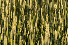 Rusty Breezes (Kevin Tataryn) Tags: wheat crops farm country plant food grain grains golden light sunrise early nikon d500 300mm f4pf canada