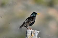 European Starling (Edhorton) Tags: spring mt ranch las vegas nevada wildlife european starling