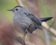 Gray Catbird (Dumetella carolinensis) 01-11-2018 Blackwater NWR--Tubman Rd. Trail, Dorchester Co. MD 2 (Birder20714) Tags: birds maryland mimic thrushes mimidae dumetella carolinensis mbpready