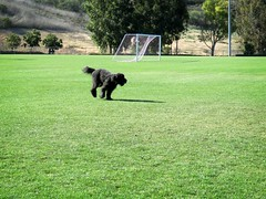 The Answer (Bennilover) Tags: field zoomies running dogs benni labradoodle bennigirl