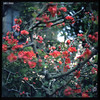 Blossoms (James Mundie) Tags: shugenjitemple kamakura sakura cherryblossoms garden jamesmundie jamesgmundie profjasmundie jimmundie mundie copyright©jamesgmundieallrightsreserved copyrightprotected yashicaa tlr twinlensreflex bokeh plumblossoms