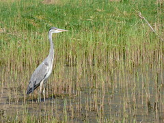 Heron (LouisaHocking) Tags: heron birds nature wild wildlife forest farm cardiff british