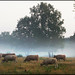 Cows with morning fog