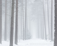 Pine Walkway (Old-Man-George) Tags: 2018 georgewheelhouse aspleywoods bedfordshire fog forest local mist nature snow trees winter woodland wwwgeorgewheelhousecom a180015
