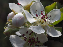 Pear Blossom Fecundity (Nick_Fisher) Tags: pear blossom nickfisher fecundity