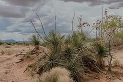 El Paso, TX Desert (Barb McCourt) Tags: nikonphotography nikond810 desertsouthwest cactus desertplants yucca desertexploration texas elpaso monsoonseason mountains clouds desertscenery desert