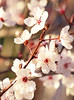 Plum Tree 20160212 (caligula1995) Tags: 2016 afternoon flowers plumtree