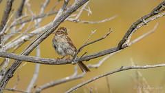 Brewer's Sparrow (Bob Gunderson) Tags: birds brewerssparrow california monocounty northerncalifornia parkerlakeroad sierras sparrows spizellabreweri
