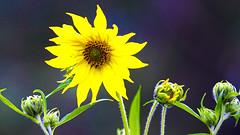 Maximilian Sunflower (Helianthus maximiliani), Hartley Nature Center - Duluth MN USA, 07/19/18 (TonyM1956) Tags: elements tonymitchell minnesota nature stlouiscounty hartleynaturecenter duluth maximiliansunflower helianthusmaximiliani sonyalphadslr macrounlimited sonyphotographing