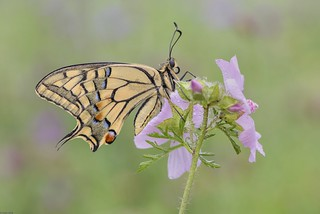 *Summer of swallowtails II*