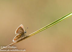 brown argus-2 (Neil Phillips) Tags: ariciaagestis insecta arthropod arthropoda brownargus bug butterfly hexapod insect invertebrate