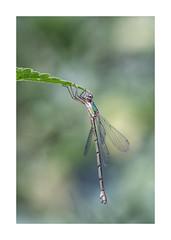 Libellules-125A5667-Modifier (helenea-78) Tags: nature libellule libellules agrion agrions insectes insecte butterfly