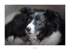 Pretty girl Tess (AnthonyCNeill) Tags: dog hund chien perro animal pet tier haustier eye contact portrait face shallowdepthoffield color colour closeup bordercollie