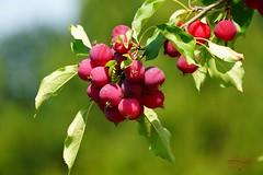 Paradise apples (Jurek.P) Tags: apples rajskiejabłka paradiseapples closeup nature jurekp sonya77