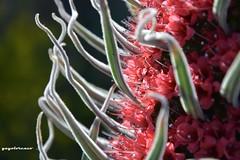 rojo-púrpura... (yayolorenzo) Tags: flor del tajinaste