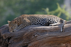 Leopard on a log (Tony Costa (eTravelPhotos)) Tags: africa leopards kenya wildlife mammals cats samburu animal fauna nature