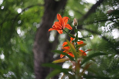 DSC08972 (Old Lenses New Camera) Tags: sony a7r kmz helios44 58cm 58mm f2 plants garden tree branches flowers lilies daylily