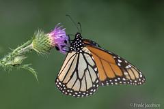 Monarch (Danaus plexippus) (Frode Jacobsen) Tags: danausplexippus lepidoptera maryland monarch washington butterfly insect milkweed frodejacobsen canoneos7dmarkii canonef30040lisusm