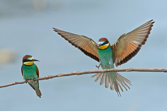 Landing (marypink) Tags: gruccioni europeanbeeeater meropsapiaster merops aves coraciiformes nikond500 nikkor80400mmf4556